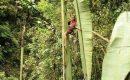 Pohon Pisang Terbesar Di Dunia Yang Ditemukan Di Pedalaman Papua