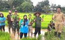 Penanaman Padi Perdana Di Desa Mekar Jaya Panongan
